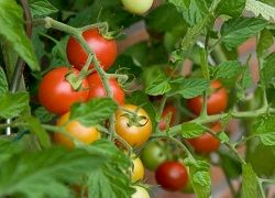 Подкормка томатов и перца с момента посадки и до бутонизации