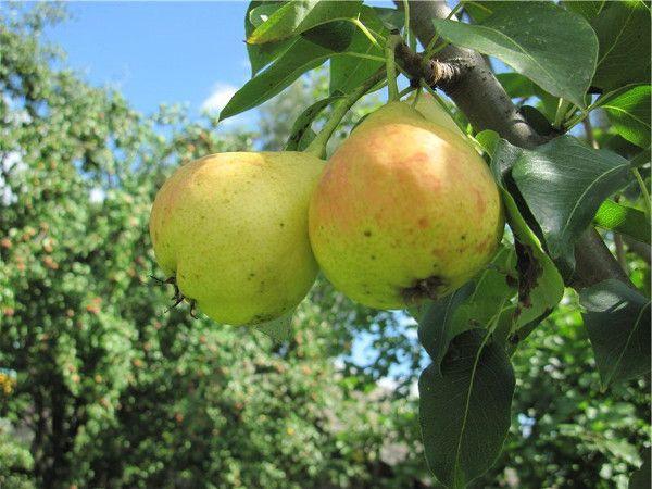 Груша Детская: описание сорта, фото плодов, советы по посадке и уходу
