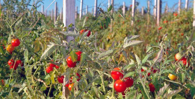 Jartieră tomate în câmp deschis