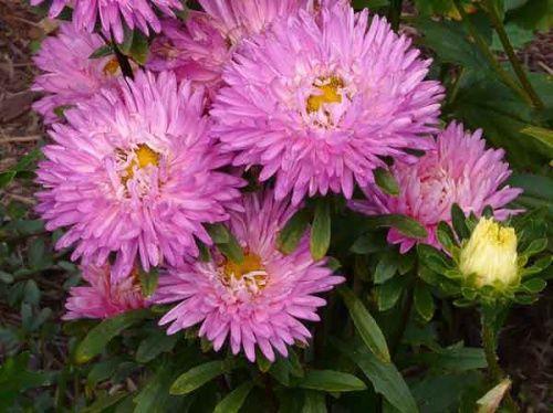 Подзимный посев астры и других цветов