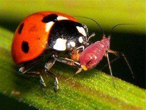 Полезните насекоми и градина сайт