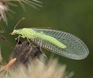 Какви са полезни насекоми в градината?