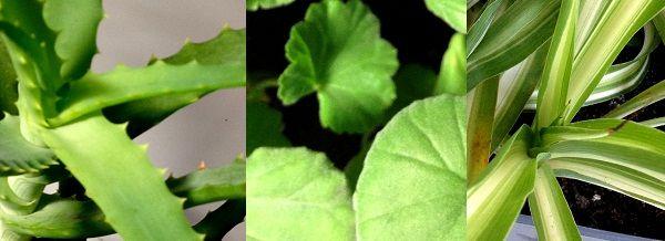 Camye korisne kućne biljke
