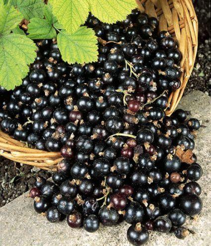 Полезные свойства черной смородины на страже здоровья