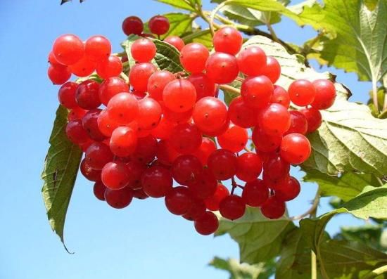 Koristne lastnosti Viburnum jagode