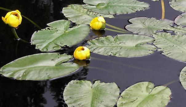 Rumena lilija je mogoče videti v ribniku in reke, jezera in celo močvirje.
