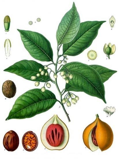 Полезные свойства мускатного ореха и опасность употребления его в большом количестве