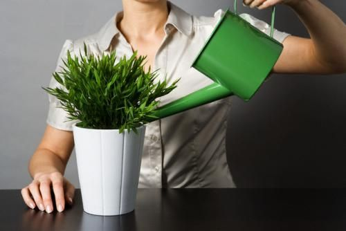 Полив комнатных цветов нужно организовать правильно