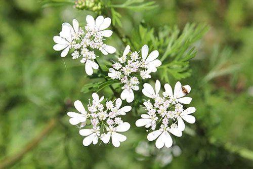 Белые нежные соцветия кинзы