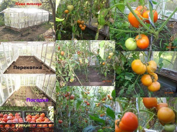 Tomate-legume cabana principală.