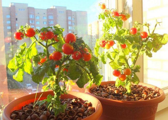 Kako raste paradižnik na okensko polico
