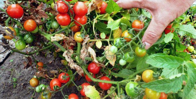 Tomate - cultivarea și îngrijirea în câmp deschis