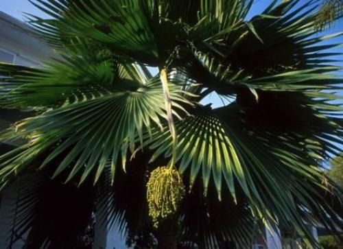Попробуем разобраться как ухаживать за финиковой пальмой