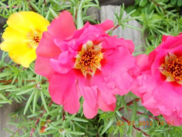 Тученица - идеален за външни саксии за цветя