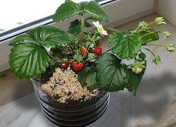 Pěstování jahod ze semen