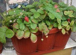 jahody na balkoně