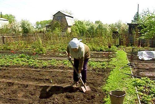 Priprava tal za sajenje pese