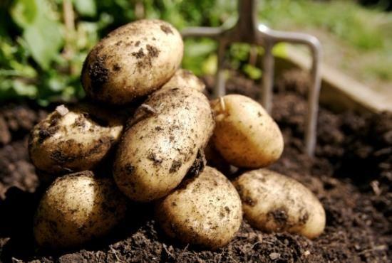 Sajenje krompirja pod slamo