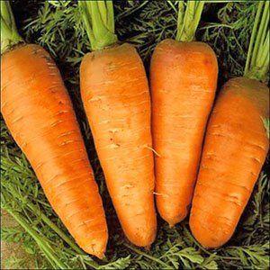 Урожай моркови на Урале