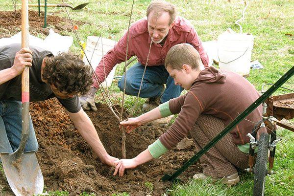Весенняя посадка саженца плододового дерева