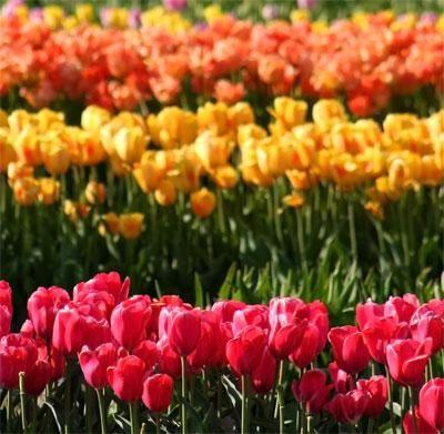 Sajenje tulipanov spomladi