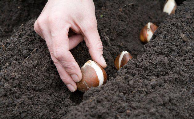 Iztovarjanje čebulic v zemlji