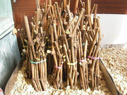 Priprava sadilni material