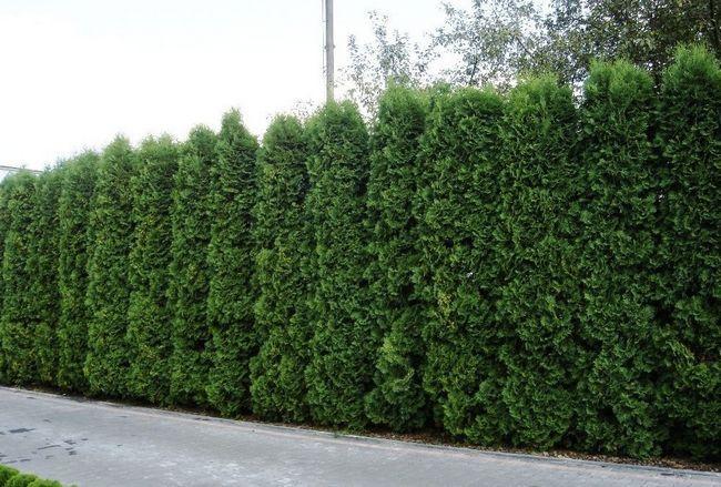hedge koluchka