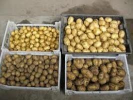 Kako izbrati zasaditve krompir?