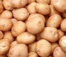 Kako izbrati krompir za pristanek?
