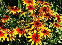 Pozno cvetoče trajnice za padec vrtov