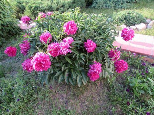 Sajenje pravila, skrbi in deli trave pion