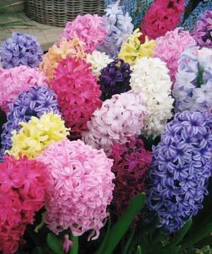 Kako rastejo Hyacinth House: prijetne opravila