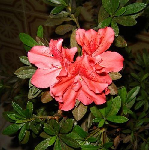 Правильный уход за азалией после цветения