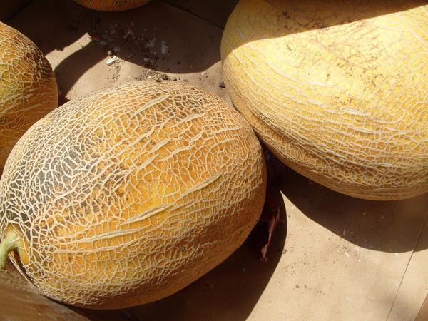 Čudovita melona za dekoracijo in poletni vrt vloži
