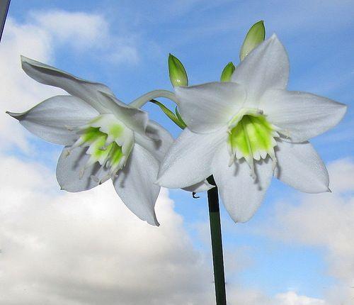 Прекрасные цветы эухариса