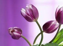 Odlično tulipanov cvet sajenje in nego različnih sort