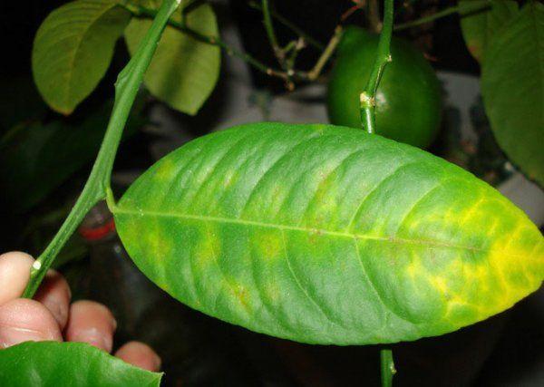 Лимон сбрасывает листья причина