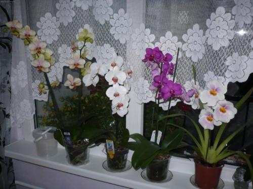 Muhast skrb za cvetje orhidej