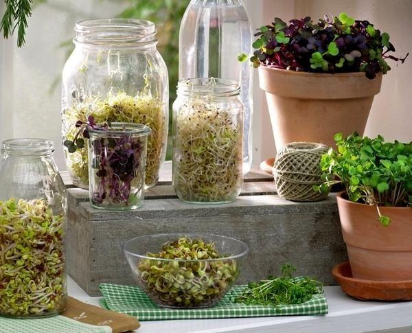 Od semena nenadoma pojavi bela stebla, potem pa postane zelena. in vse to - ste na okensko polico.