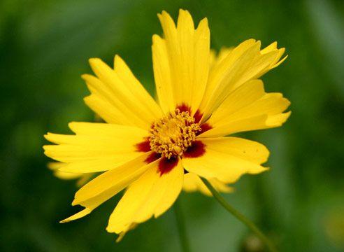 Кореопсис крупноцветковый, Coreopsis grandiflora