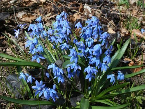 Пролеска сибирская: описание, разновидности и условия выращивания в саду