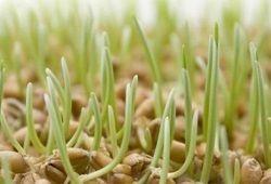 Проростки из пшеничных зернышек: польза и декор