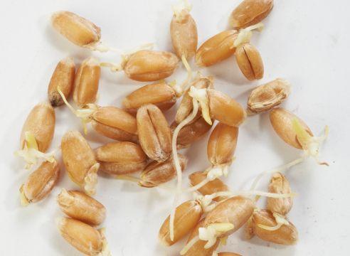 ohrovt, pšenica