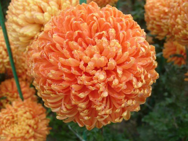 Neprimerljiva oranžna sorta Astro Bronze
