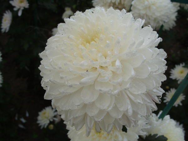 Neverjetno bela sorta Zembla Bela