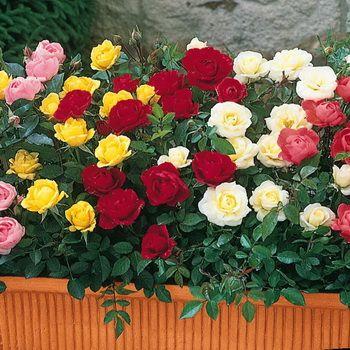 Простое и продуктивное размножение роз черенкованием