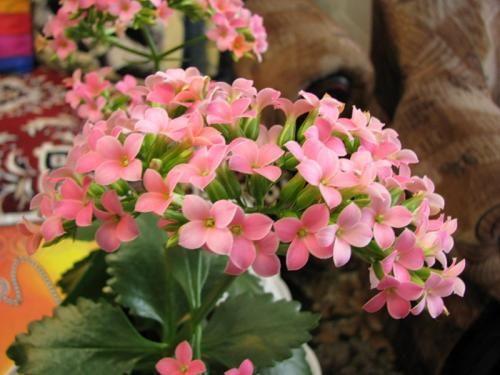 Простой уход за комнатным растением коланхое