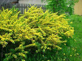 Ракитник русский или золотой дождь: неприхотливый житель сада