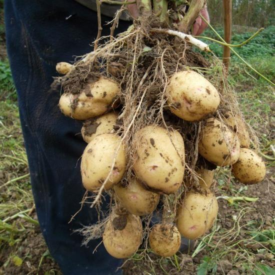 gomolji krompirja